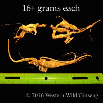 16+ gram Elite Series ginseng from Western Wild Ginseng