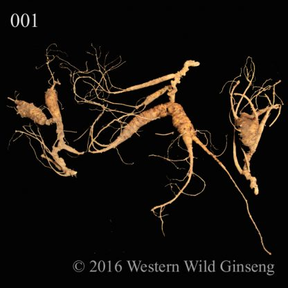 Old Large grade green ginseng