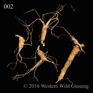 average fresh wild american ginseng